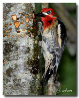 Red-breasted Sapsucker 6