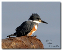 Belted Kingfisher 6