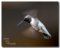 Black-chinned male 3
