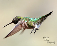Costas Hummingbird 4
