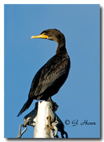 Double Crested Cormorant 1