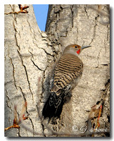 Northern Flicker 5