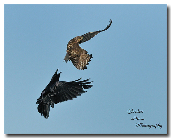 Red tail Hawk 11