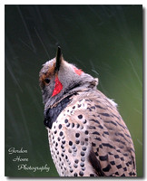 Northern Flicker 6